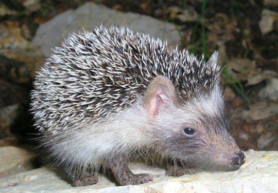 Mallorcan Hedgehog (Atelerix algirus vagans)