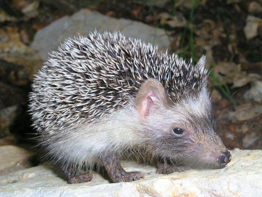 erizo-de-mallorca-mallorcan-hedgehog-6-jordi-muntaner