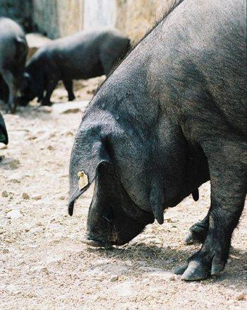 cerdo-negro-mallorquin-2