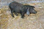 cerdo-negro-mallorquin-3
