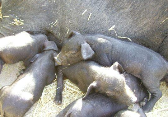 El cerdo negro Mallorquín, la raza porcina de mallorca