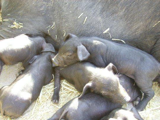 cerdo-negro-mallorquin-4
