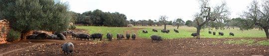 cerdo-negro-mallorquin-panoramica