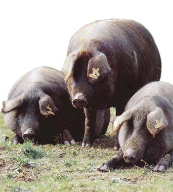 cerdo-negro-mallorquin