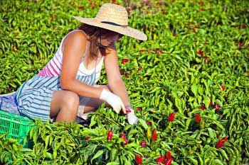 Especias Crespí dispara la producción  de pimentón mallorquín