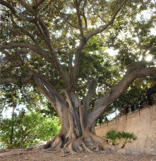 jardines-de-la-misericordia-botanico-palma-de-mallorca-ficus