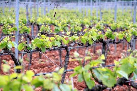 Mallorca's grape harvest - Bodegas José L. Ferrer