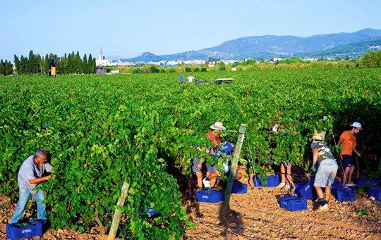 Mallorca's grape harvest - Bodegas José L. Ferrer