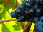 Mallorca's grape harvest - SSRIC