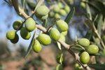 Oli Verderol, un bon exemple d'agricultura i conservació