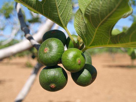 figues-fig-feigen-higueras-mallorca-4