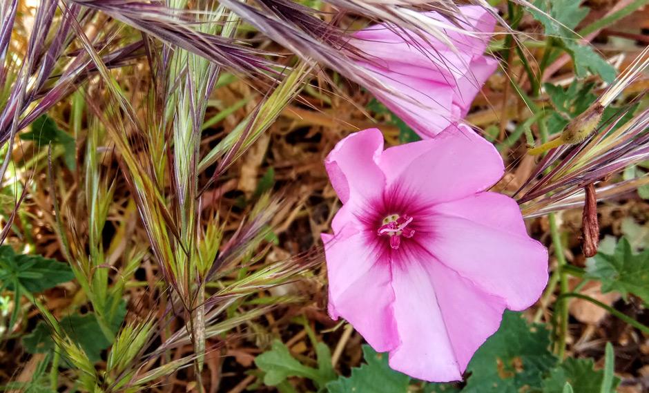 Flores silvestres de Mallorca (Convolvulus althaeoides L.)