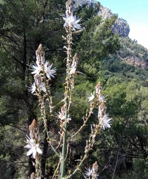 Полевые цветы в лесах и лугах Майорки (Asphodelus aestivus)