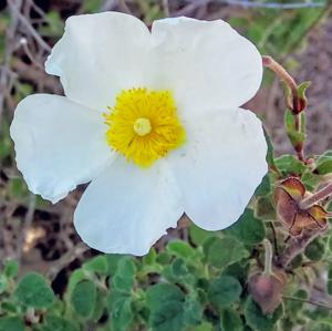 Полевые цветы в лесах и лугах Майорки (Cistus monspeliensis L.)