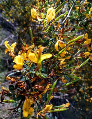 Wildblumen auf den Feldern und in den Waldern Mallorcas (Genista lucida)