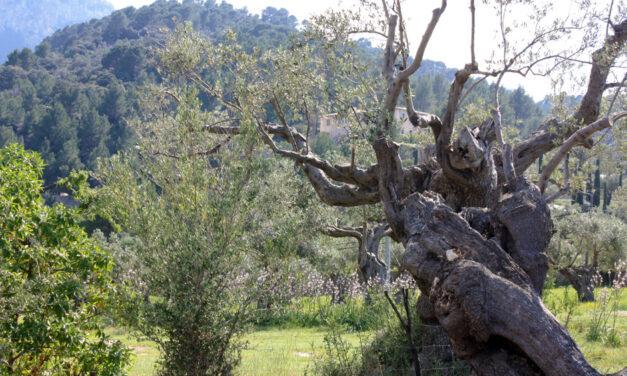 Mallorca's olive oil route