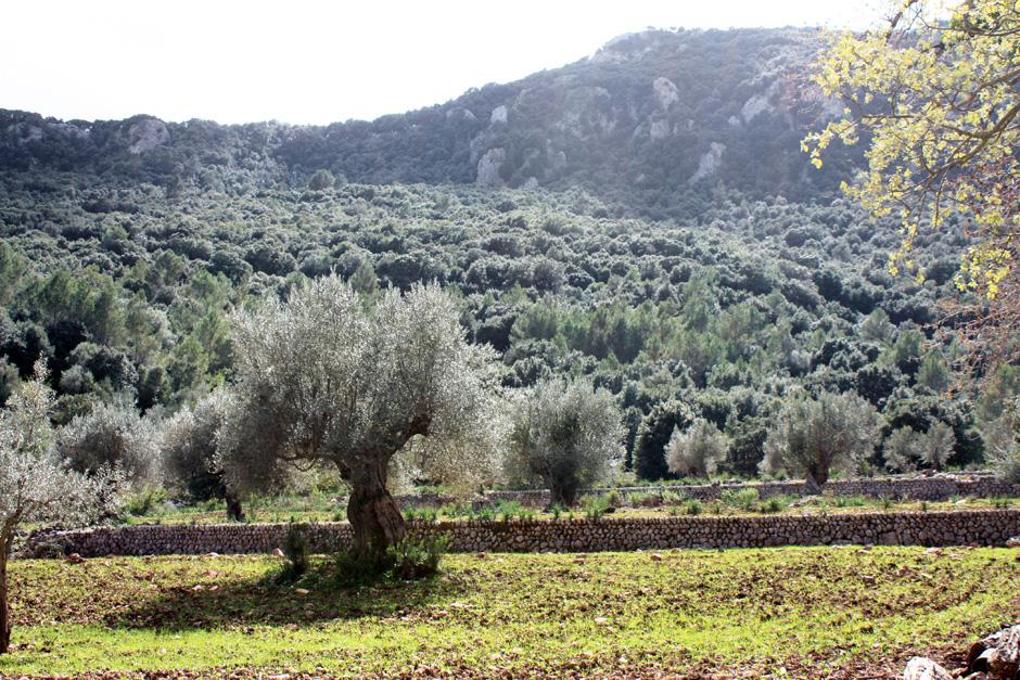 Ruta de l'oli, Mallorca