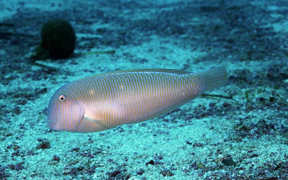 Los peces como el Raor tienen personalidad, sí, pero ¿por qué?