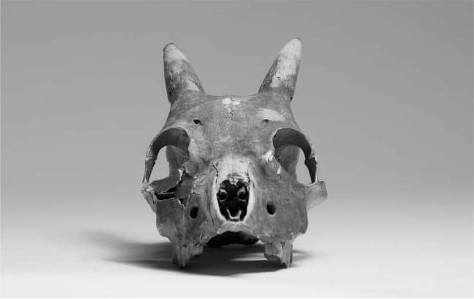 Crani de Myotragus balearicus