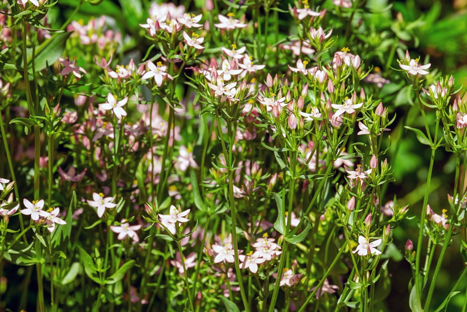 Centaurium bianoris (Sennen)