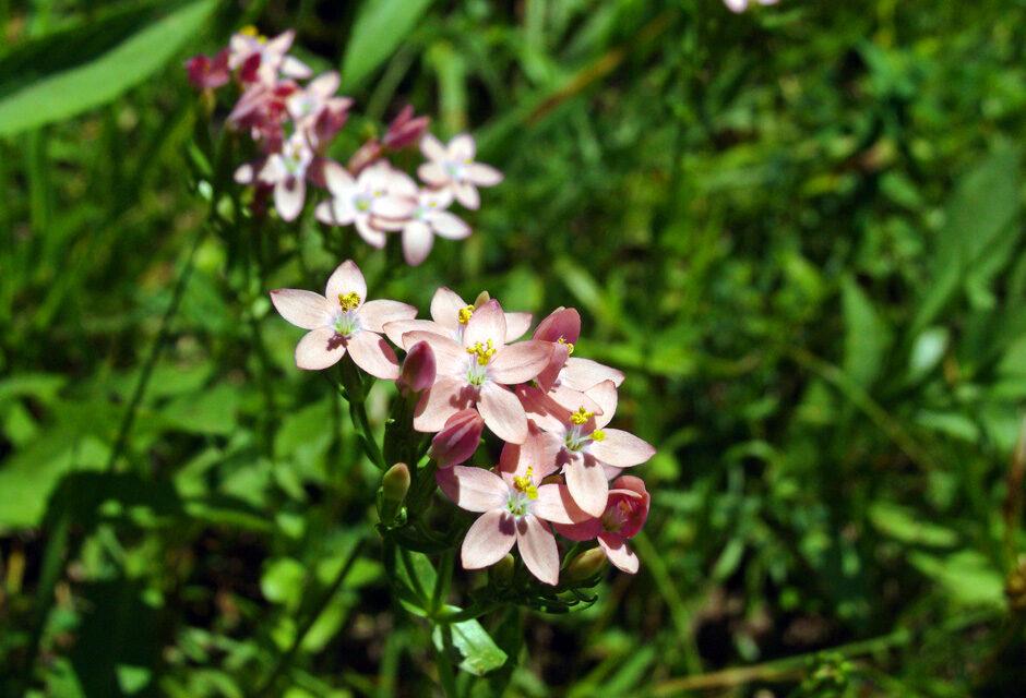"Centaurium bianoris (Sennen) ""Herba de Santa Margalida"""